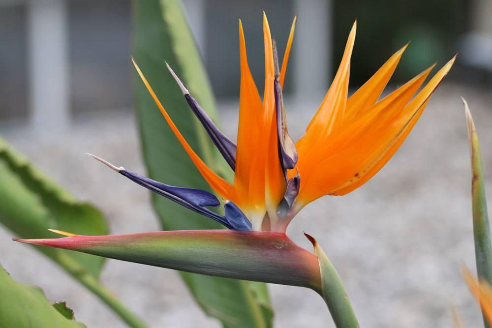 Paradiesvogelblume, Strelitzia reginae richtig pflegen