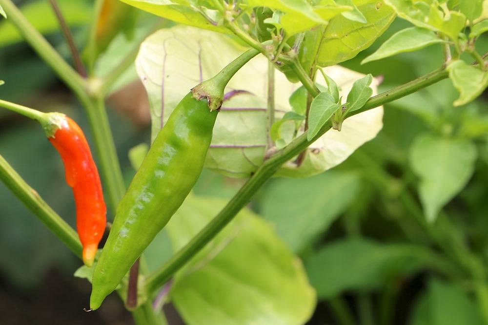 Peperoni können roh oder gekocht verzehrt werden
