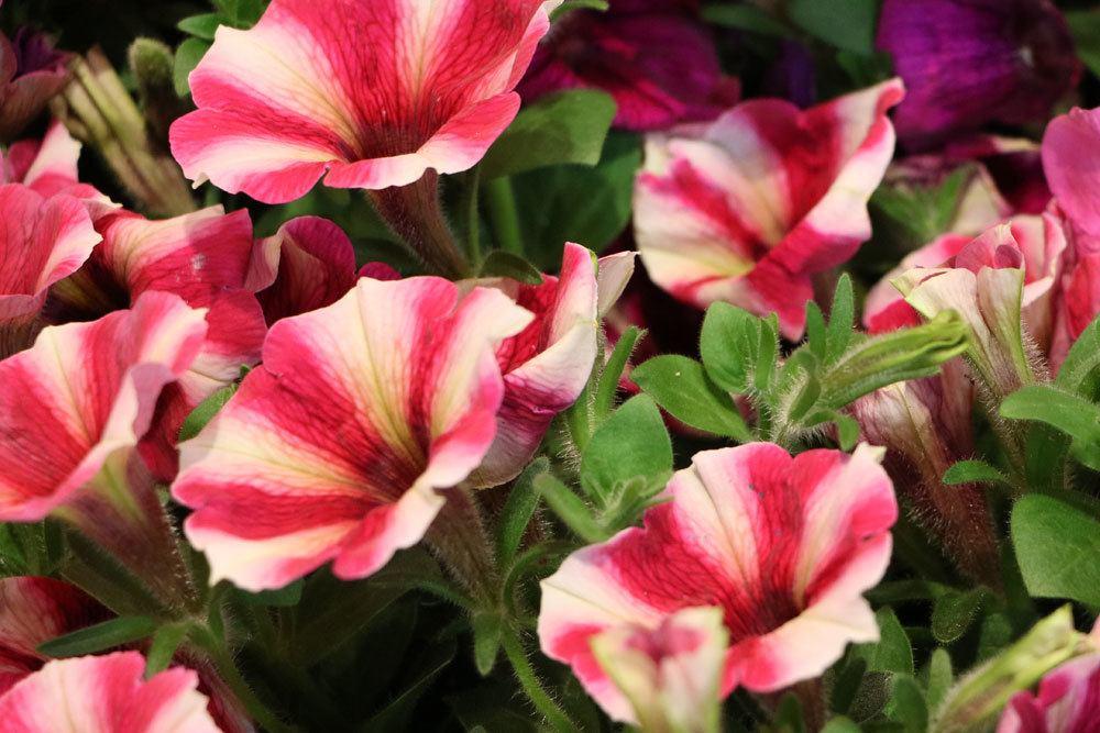 Petunien mit zweifarbiger Blüte