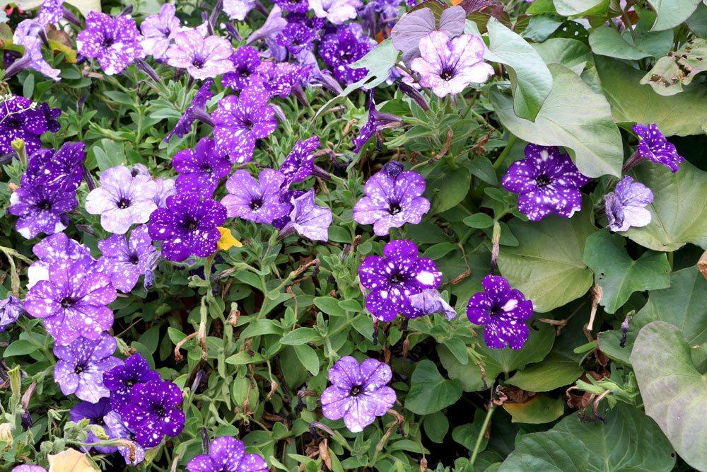 Petunia gibt es in verschiedenen Blütenfarben