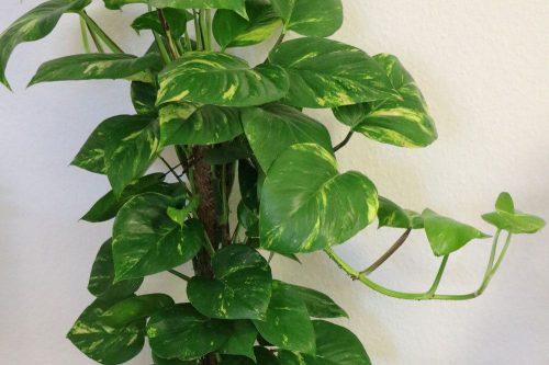 Philodendron als beliebte Zimmerpflanze
