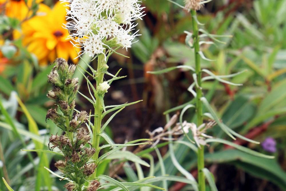Prachtscharte - Liatris spicata