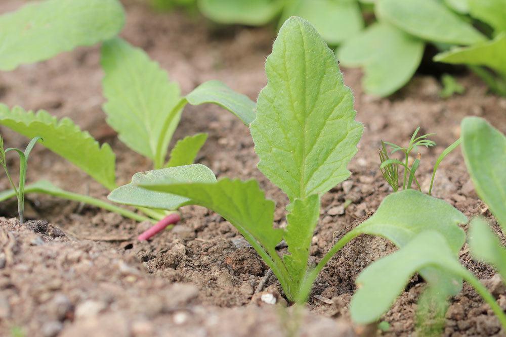 Radieschen sollten im richtigen Abstand gepflanzt werden