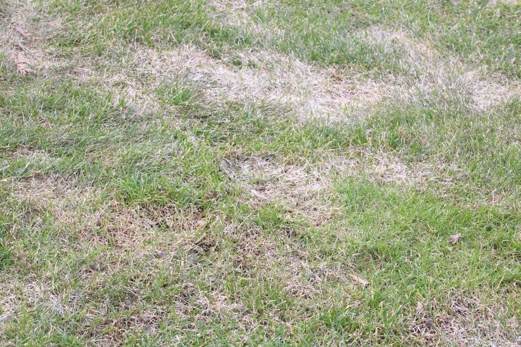 fleckiger Rasen
