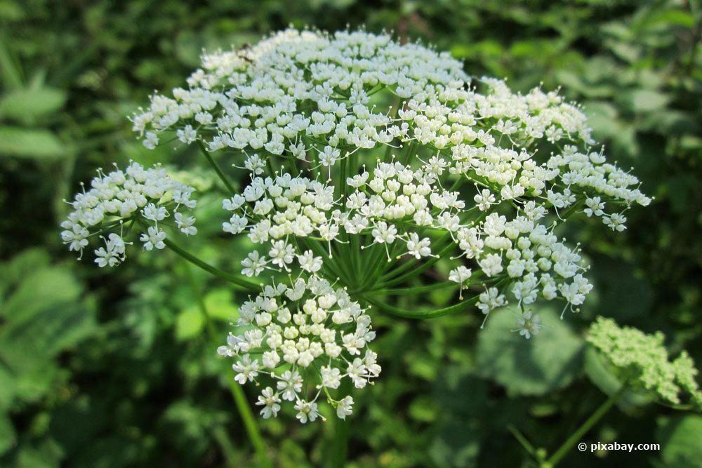 Giersch mit seinen kleinen weißen Blüten