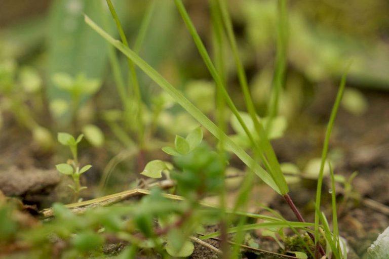 Rasenunkräuter bestimmen und richtig bekämpfen