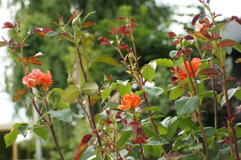Rosen in der Blütenfarbe Orange