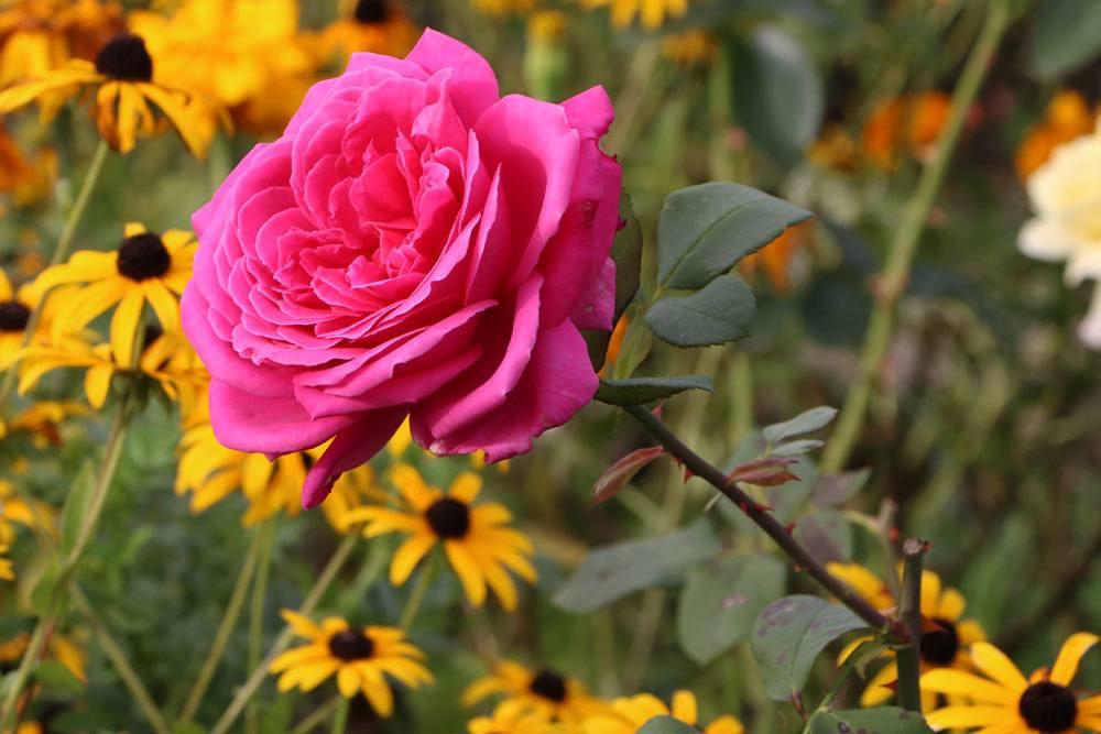 Rose wird als Königin der Blumen bezeichnet