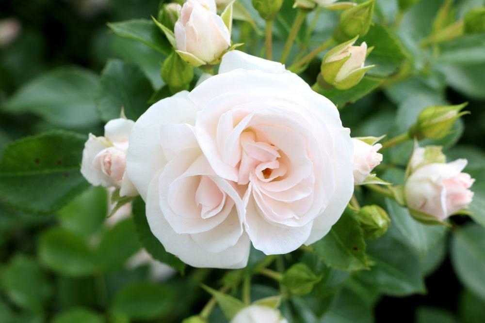 Rosen mit weißer Blütenfarbe