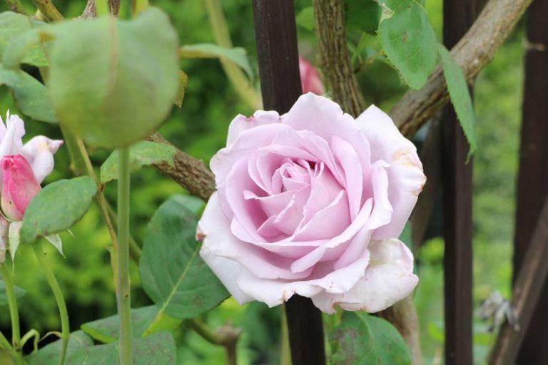 Rosenpflege im Jahresverlauf