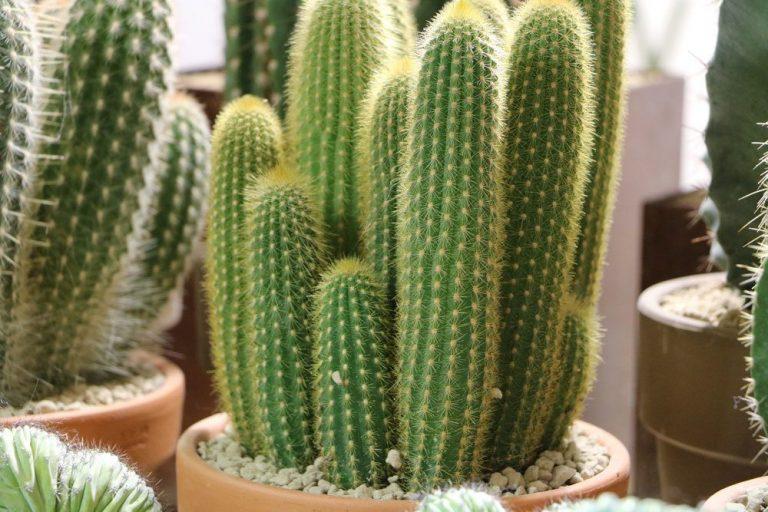 Säulenkaktus, Cereus