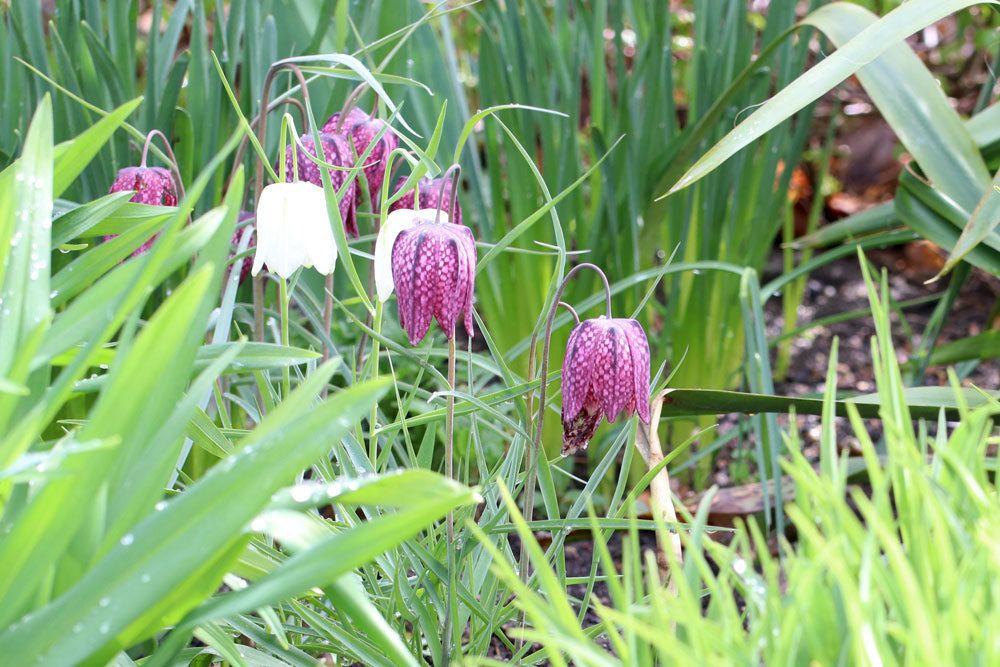 Schachblume mit violetter Blütenfarbe