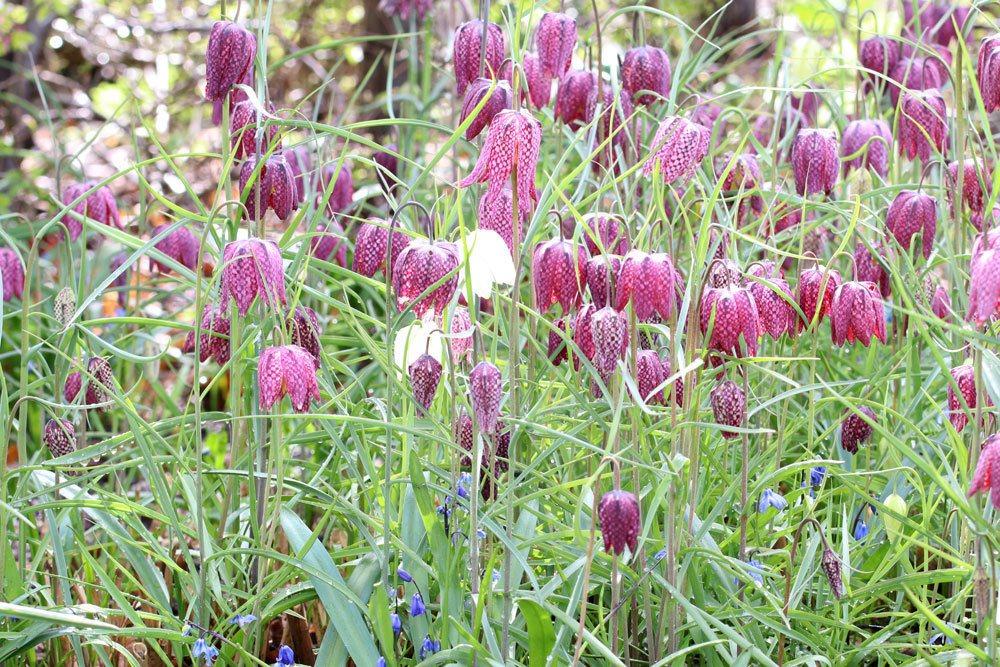 Fritillaria meleagris ist eine mehrjährige Pflanze