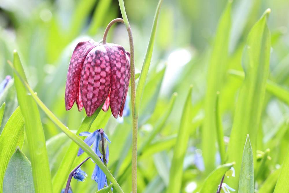 Schachblume, Schachbrettblume, Fritillaria meleagris richtig pflegen