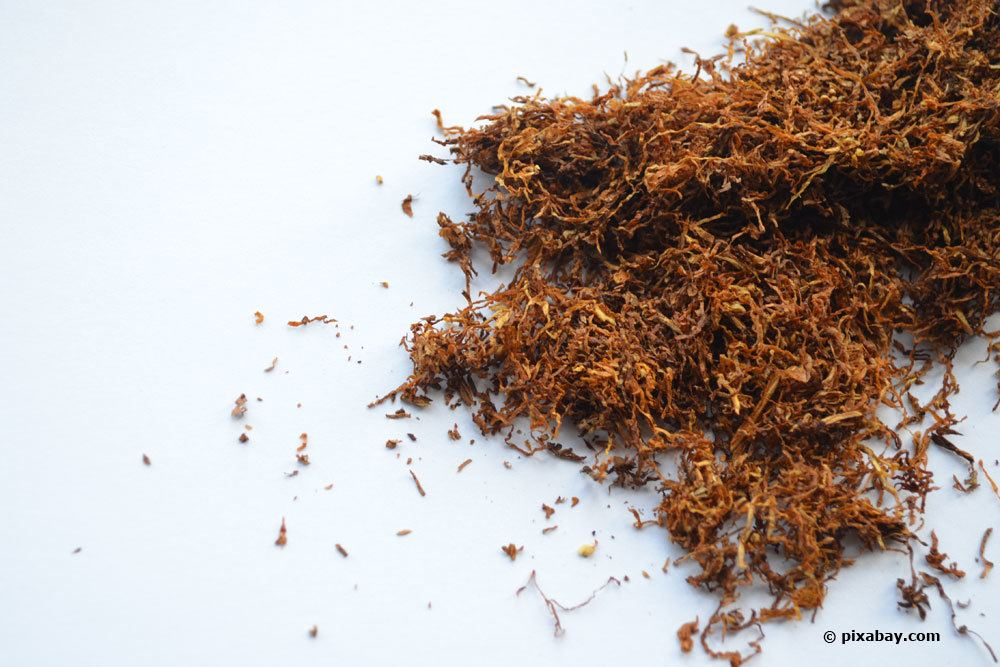 Tabak als Hausmittel gegen Schildläuse