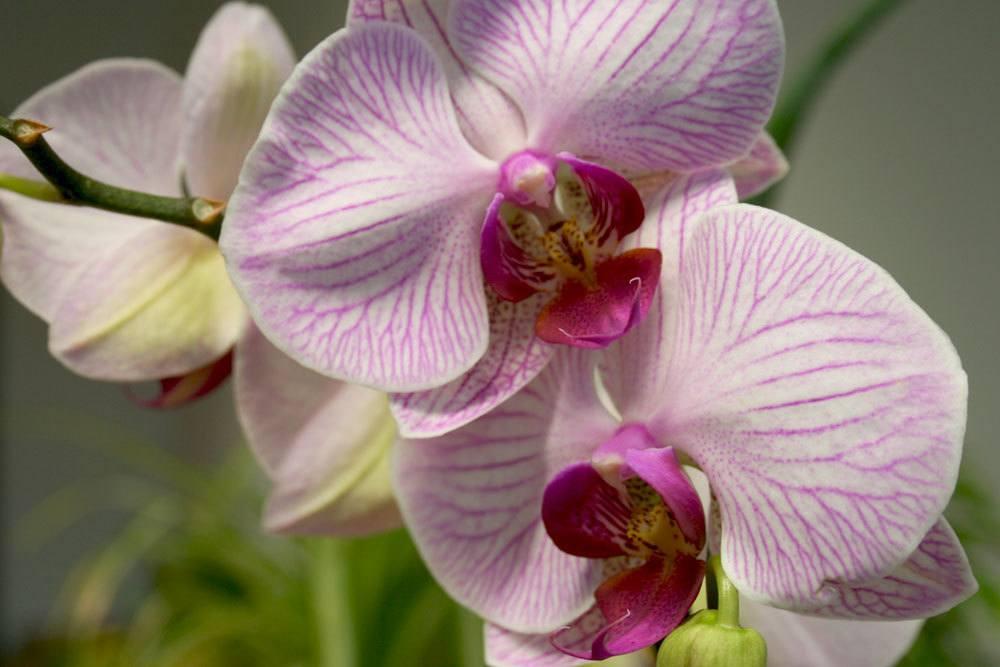 Schmetterlingsorchidee mit rosa Blütenfarbe