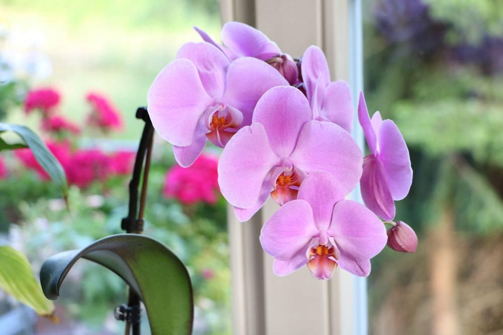 Schmetterlingsorchidee am Zimmerfenster