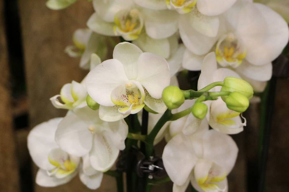 Phalaenopsis mit weißer Blütenfarbe