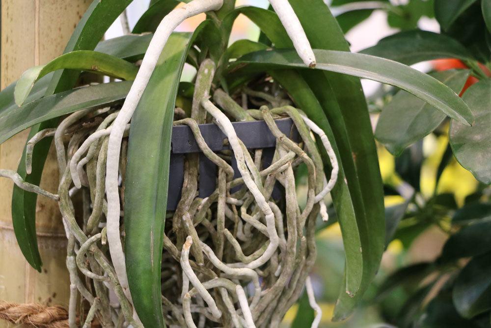 Schmetterlingsorchidee mit Luftwurzeln