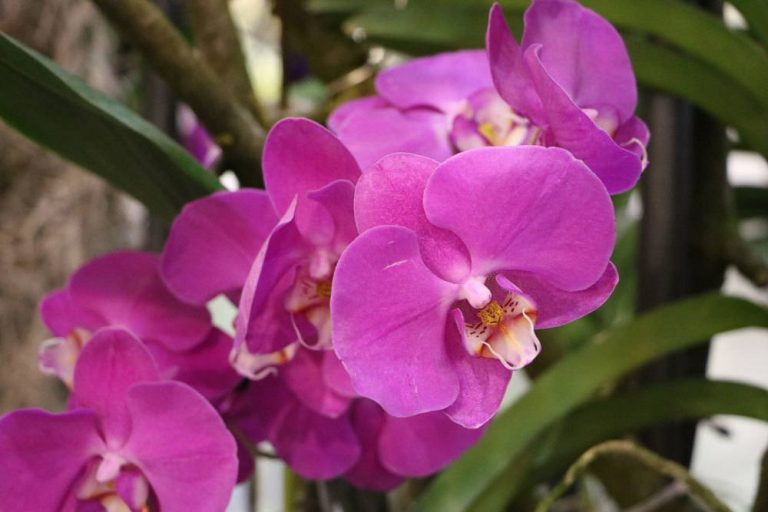Phalaenopsis, Schmetterlingsorchidee richtig pflegen