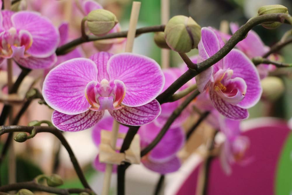 Phalaenopsis stammt von den Philippinen