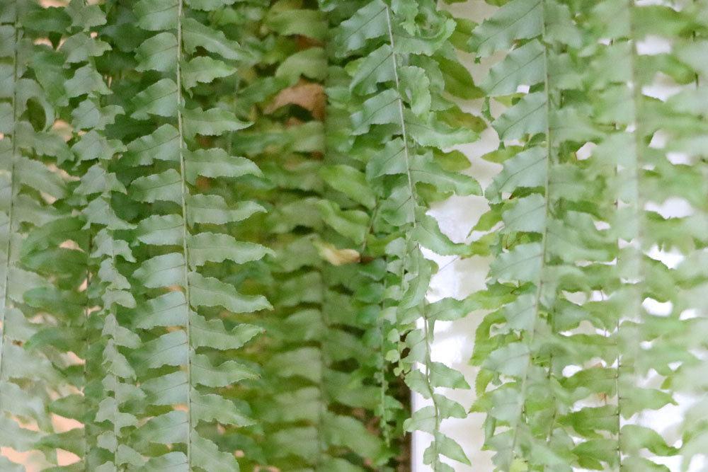 Schwertfarn, Nephrolepis cordifolia
