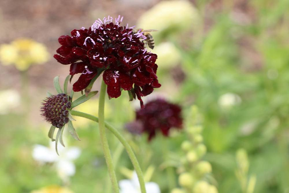cabiosa atropurpurea, Black Night Skabiose