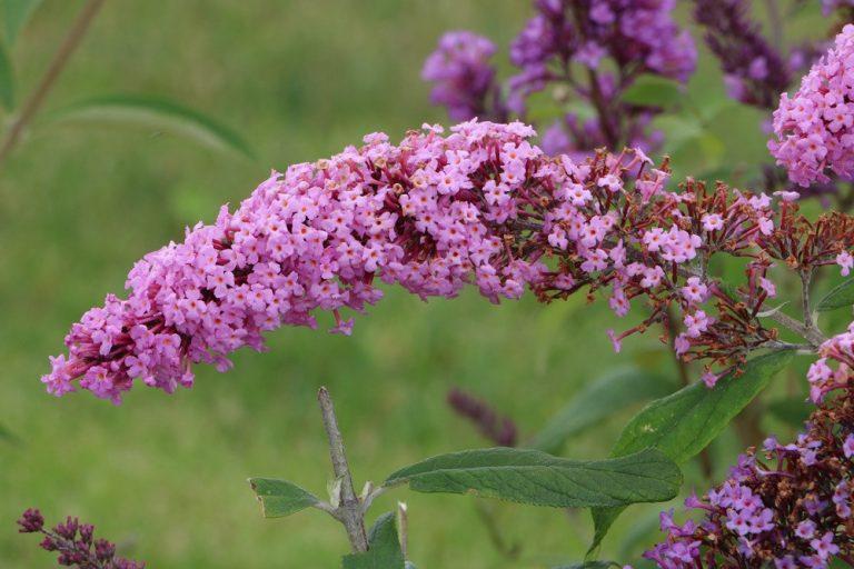 Schmetterlingsflieder, Sommerflieder, Wildstrauch