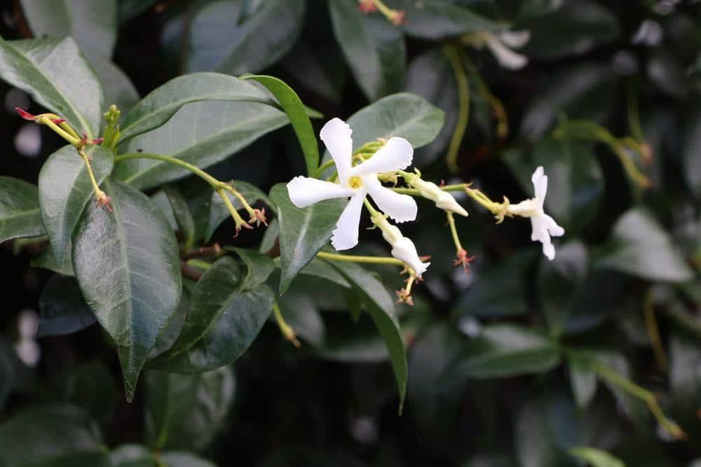 Sternjasmin - Trachelospermum jasminoides