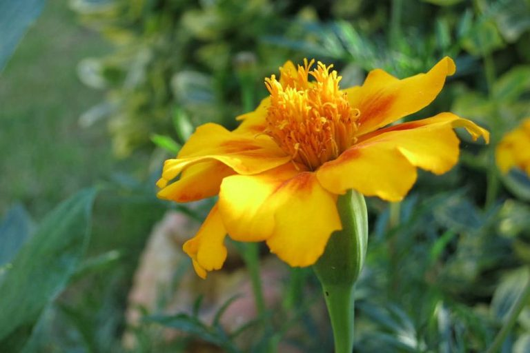 Tagetes, Studentenblume richtig pflegen