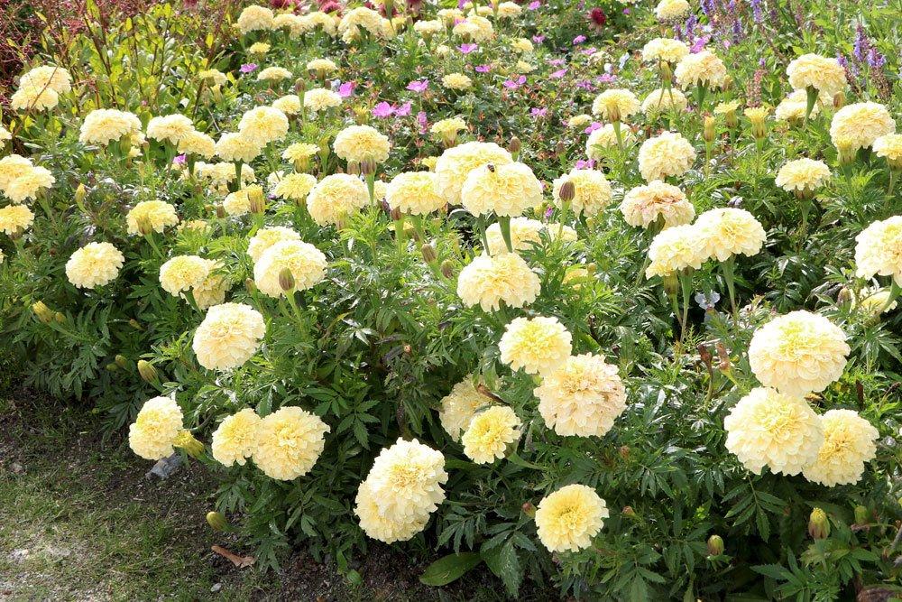 Tagetes mit weißer Blütenfarbe