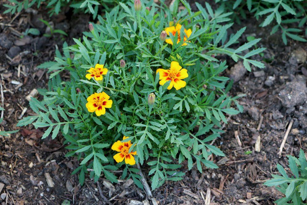 Tagetes mit leuchtenden Blüten
