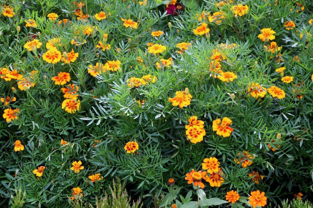 Studentenblume gehört zu den Korbblütlern