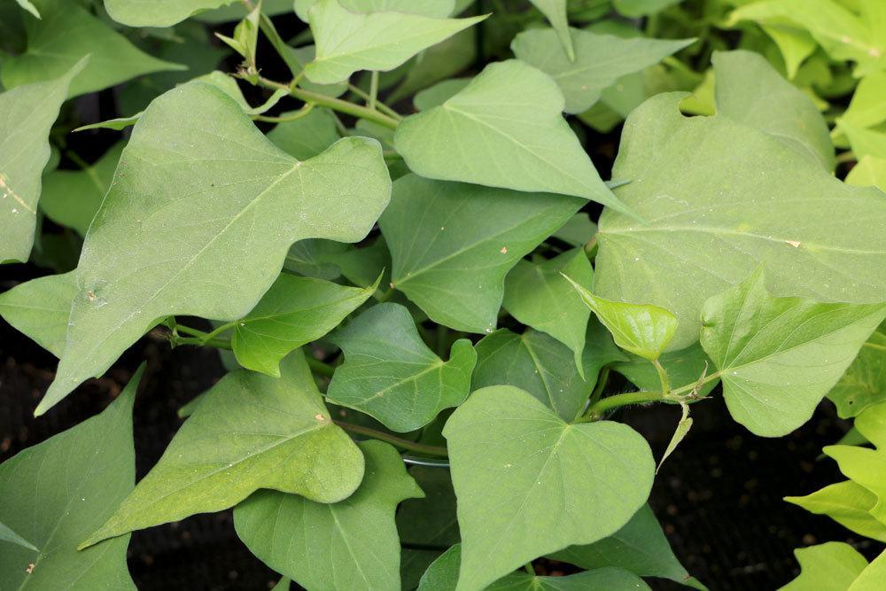 Süßkartoffelpflanze