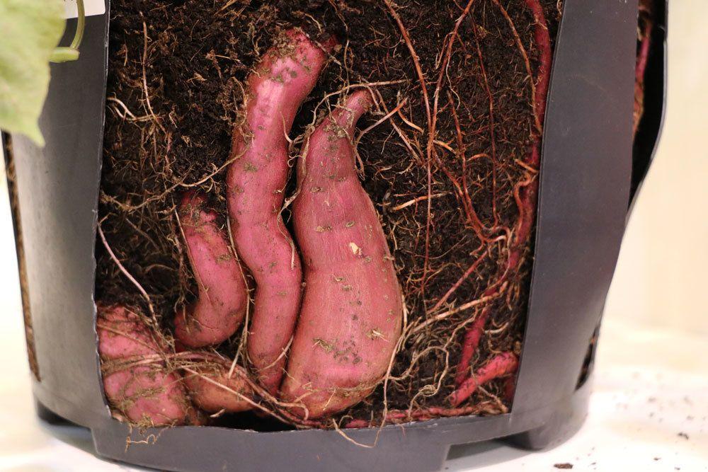 Süßkartoffeln im eigenen Garten züchten