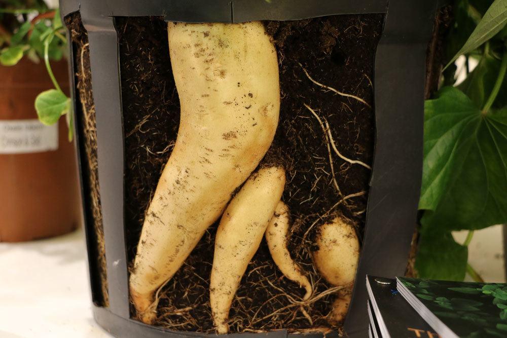 Süßkartoffeln selber anbauen