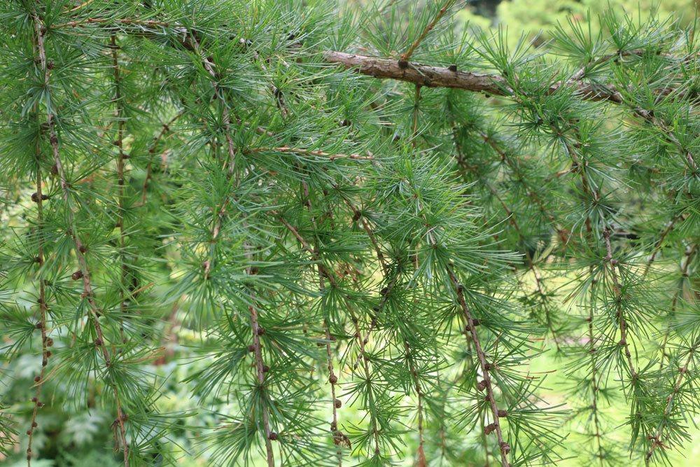 Larix decidua, Europäische Lärche