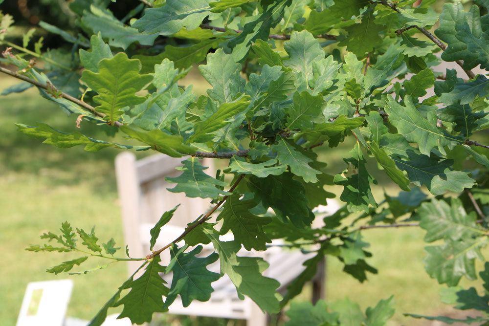 Quercus robur, Stieleiche