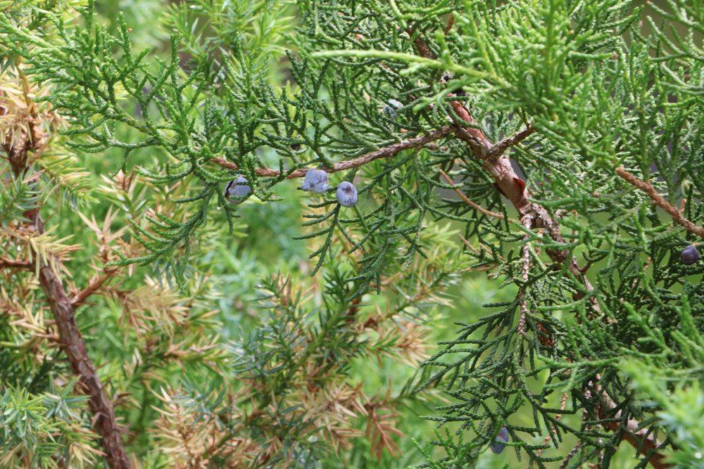 Juniperus drupacea, Syrische Wacholder