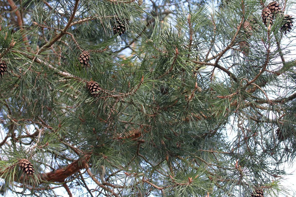 Pinus sylvestris, Waldkiefer