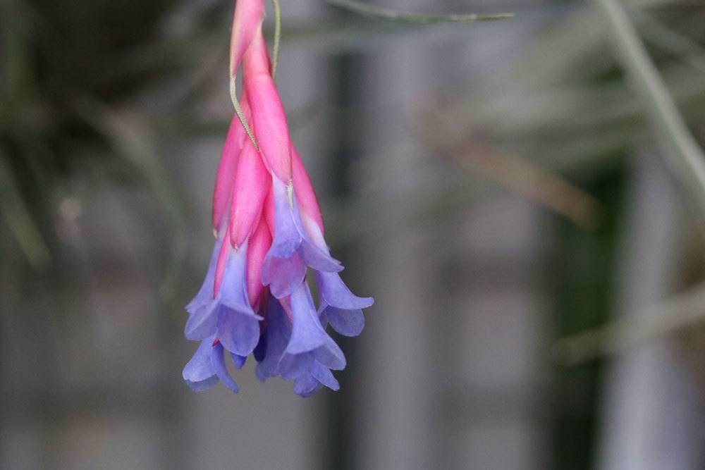 Blüte einer Tillandsien-Art