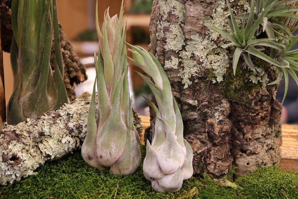 Tillandsien als Zimmerpflanzen