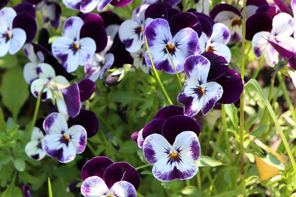 Viola ist eine recht pflegeleichte Pflanze