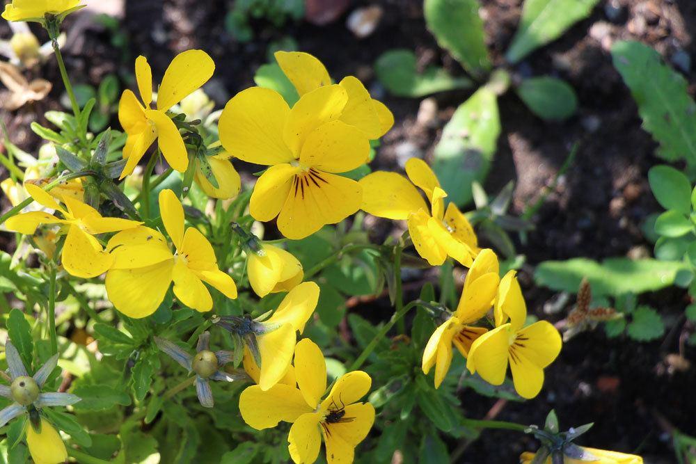 Viola mit gelben Blüten