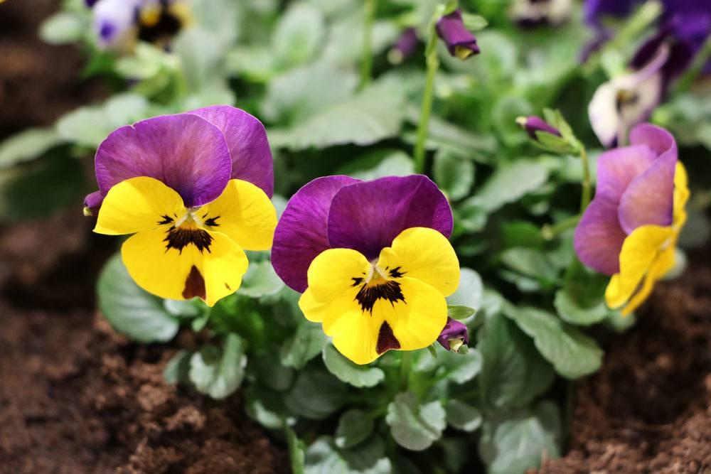 Viola mit zweifarbiger Blüte