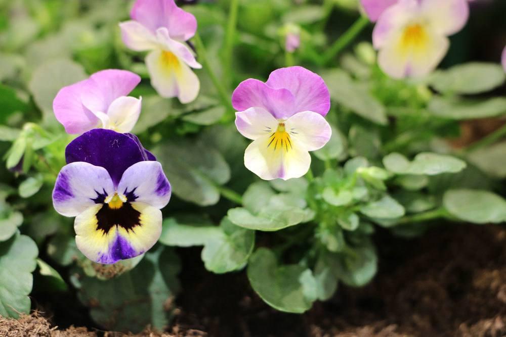Garten-Stiefmütterchen wird auch Schöngesicht genannt