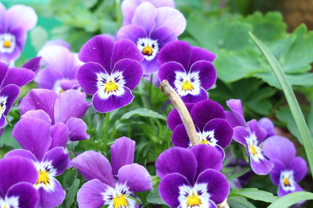 Garten-Stiefmütterchen mit lila Blütenfarbe
