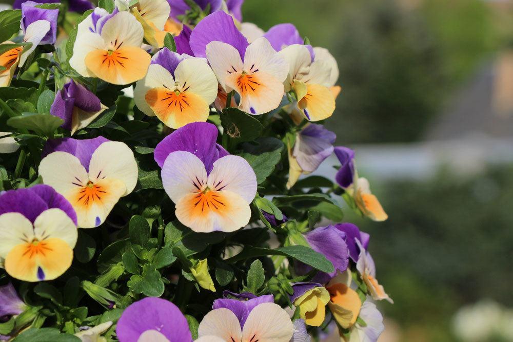 Garten-Stiefmütterchen wächst bis zu 20 Zentimeter hoch