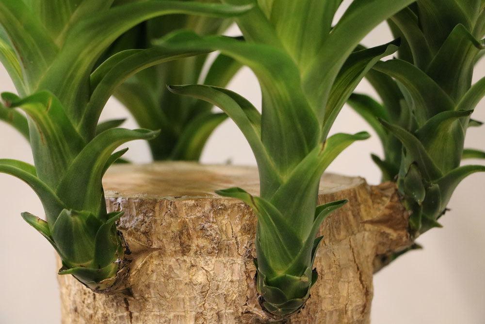 Palmlilie verschönert Wohnräume