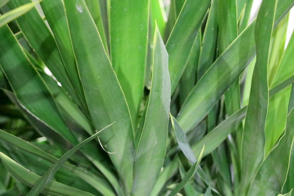 Yucca-Palme, Palmlilie richtig pflegen